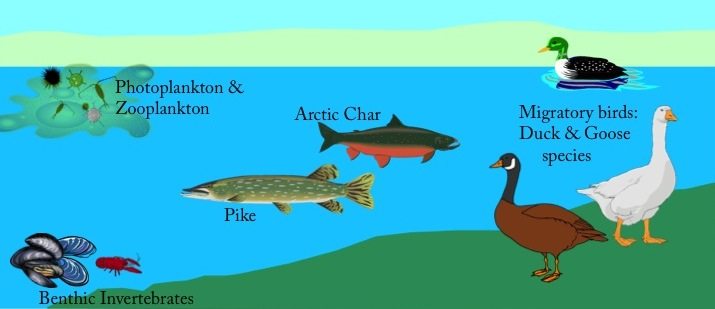 Simplified Arctic ecosystem consisting of phytoplankton, zooplankton, invertebrates (invasive mussels and crayfish), fish