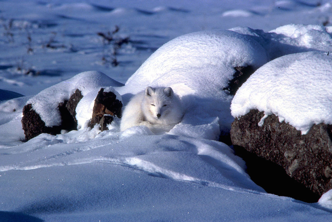 Arctic fox curled up in snow cover
