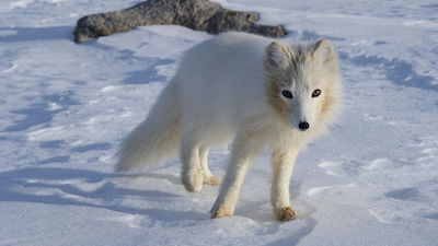 Arctic fox walking in the snow