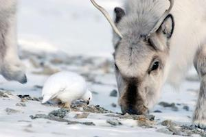 Arctic animals foraging for food beneath snow